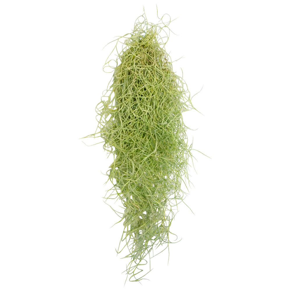 Spanish Moss Air Plant for sale, Tillandsia usneoides spanish moss plant, air plants gifts, air plants decoration, gift ideas for plant lovers, hanging spanish moss indoor, how to care spanish moss air plant, live spanish moss for sale