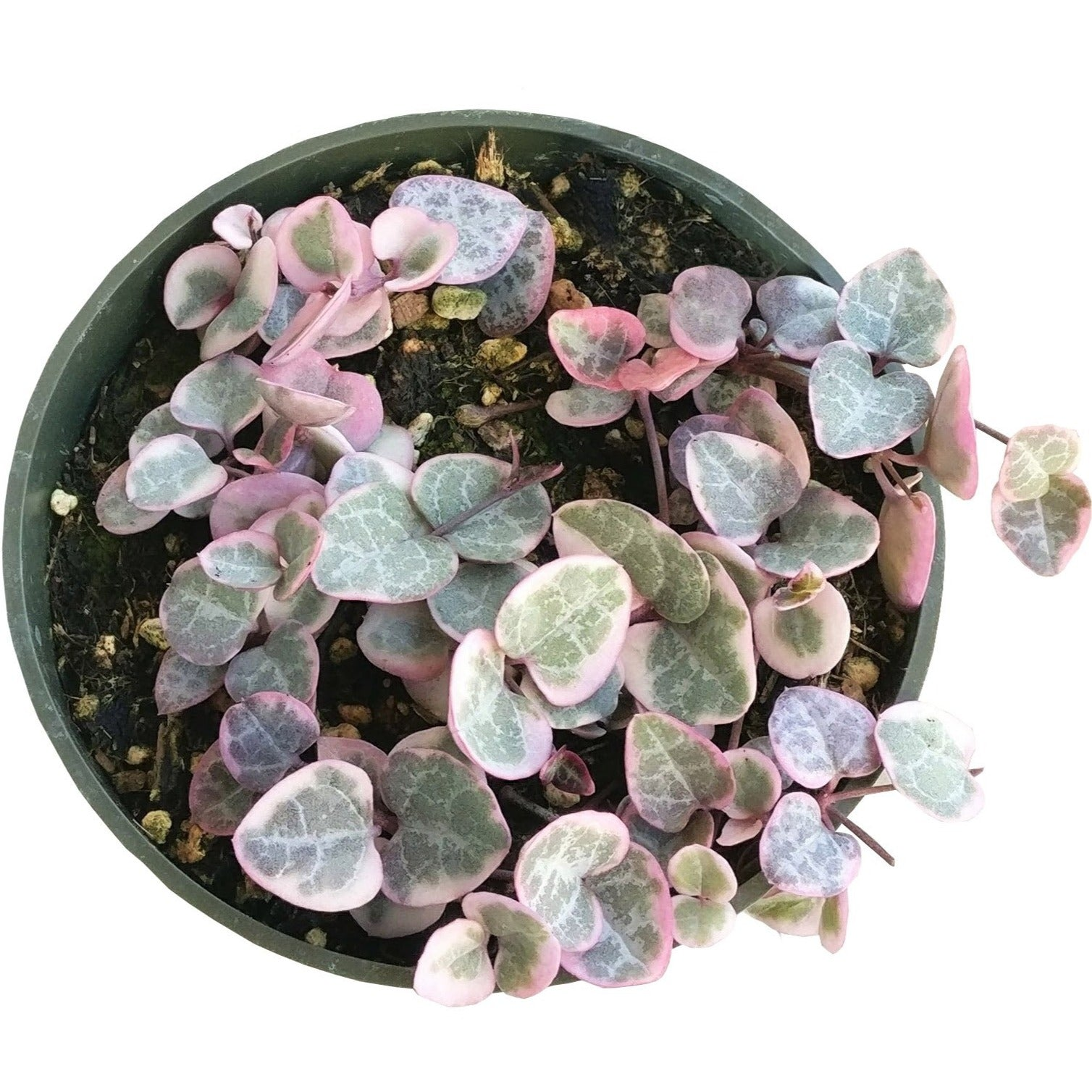 Tips for growing Variegated String of Hearts indoor home garden, Succulents, succulent plant, succulent subscription, succulents store in CA, Rare succulents, succulents shop in California, succulent care tips, cactus, Variegated String of Hearts in California, How to grow Variegated String of Hearts