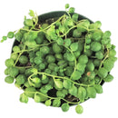 How to care for String of Pearls Succulent Hanging Plant, String of Pearls Plant Care Guide