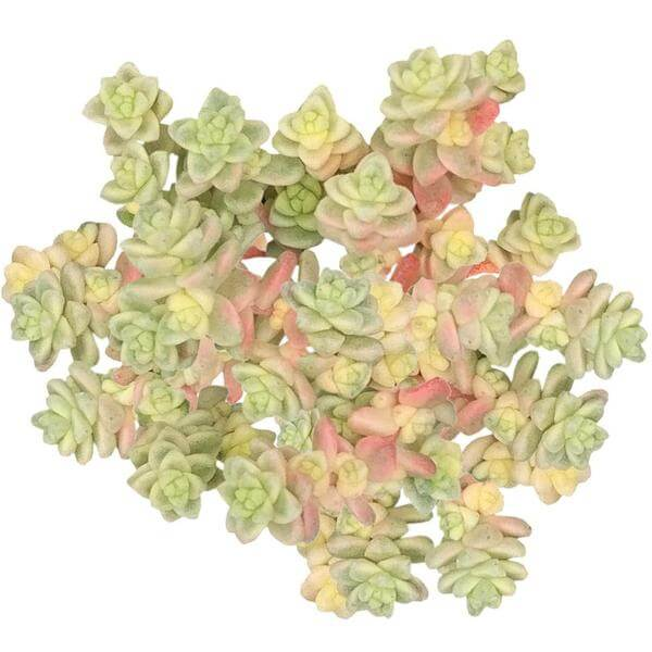 sedum anglicum, Suzie Q English succulent, succulents store in CA, Succulents, monthly succulents, succulent care, Rare succulents, succulents garden, succulent care tips, indoor succulents, Suzie Q English succulent in California, How to grow Suzie Q English succulent