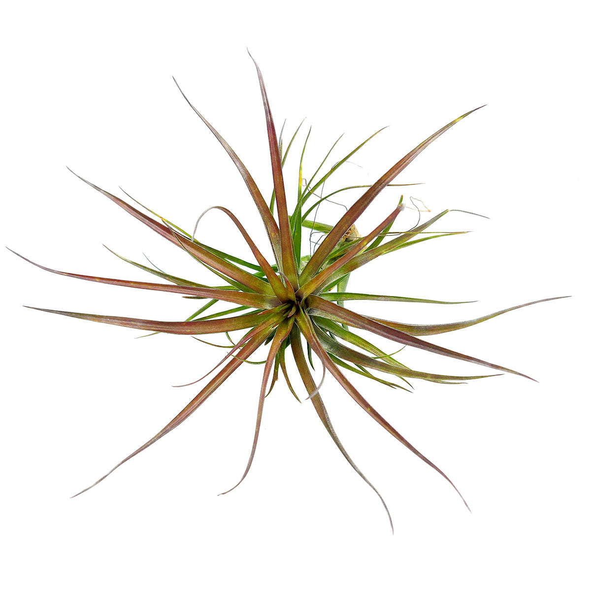 Tillandsia Tenuifolia Amethyst air plant for sale, unique gift decor ideas, air plant subscription delivery monthly, Tillandsia Tenuifolia Amethyst with air plant care guide