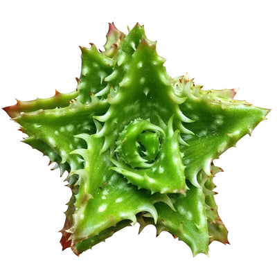 Tiger Tooth Aloe for sale, succulent care tips, succulent plant, cactus, indoor succulents, how to grow succulents, Succulents shop near me, succulents store in CA, succulents shop in California, Tiger Tooth Aloe in California, How to grow Tiger Tooth Aloe