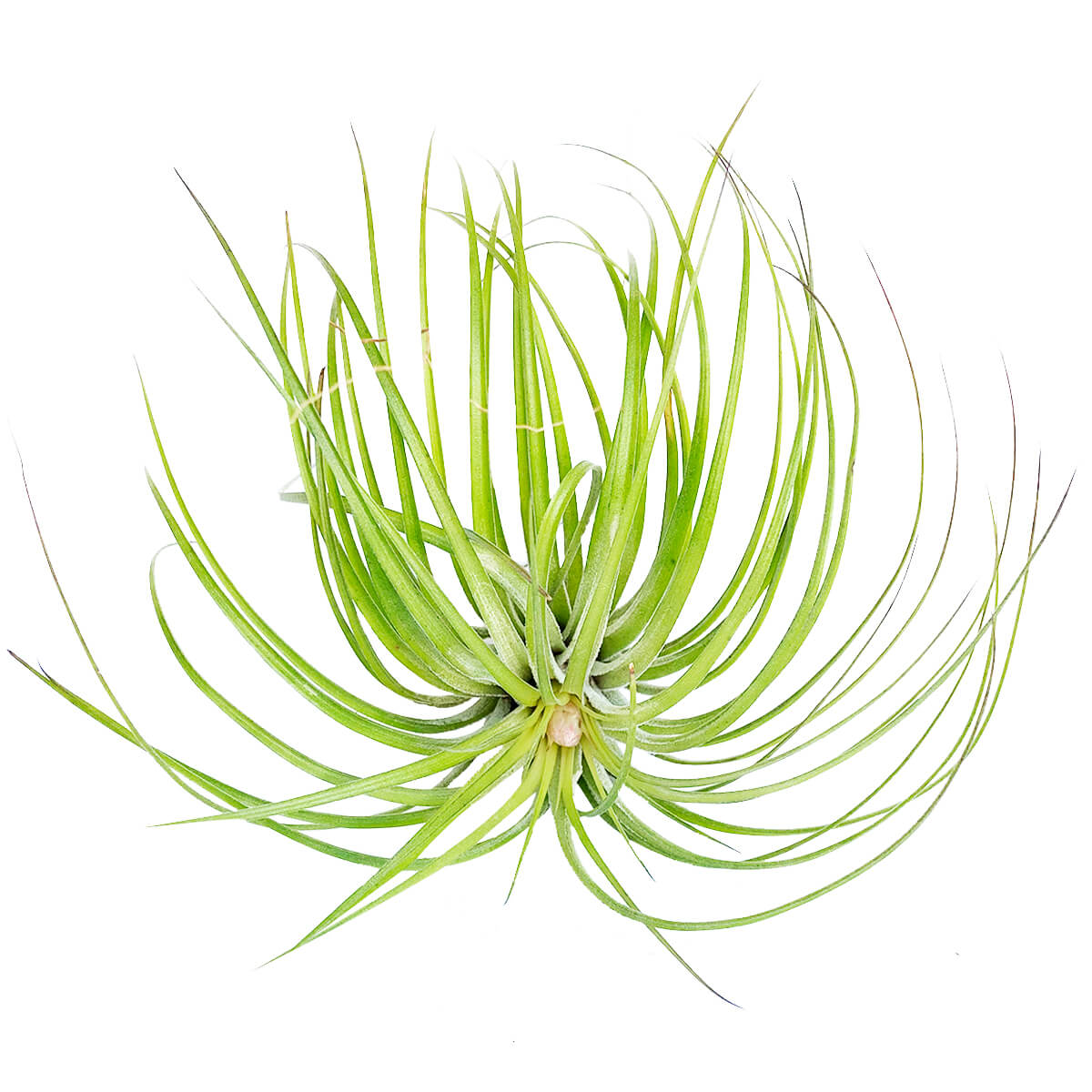 Tillandsia Stricta Green Air Plant for sale, How to grow Stricta Green Air Plant indoor, How to care for Stricta Green Air Plant, Air plants subscription box monthly, Air plants gift ideas, Air plants home office decoration