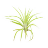 Tillandsia Velutina Air Plant for sale, How to grow Tillandsia Velutina Air Plant indoor, Tillandsia Velutina Air Plant Care Guide