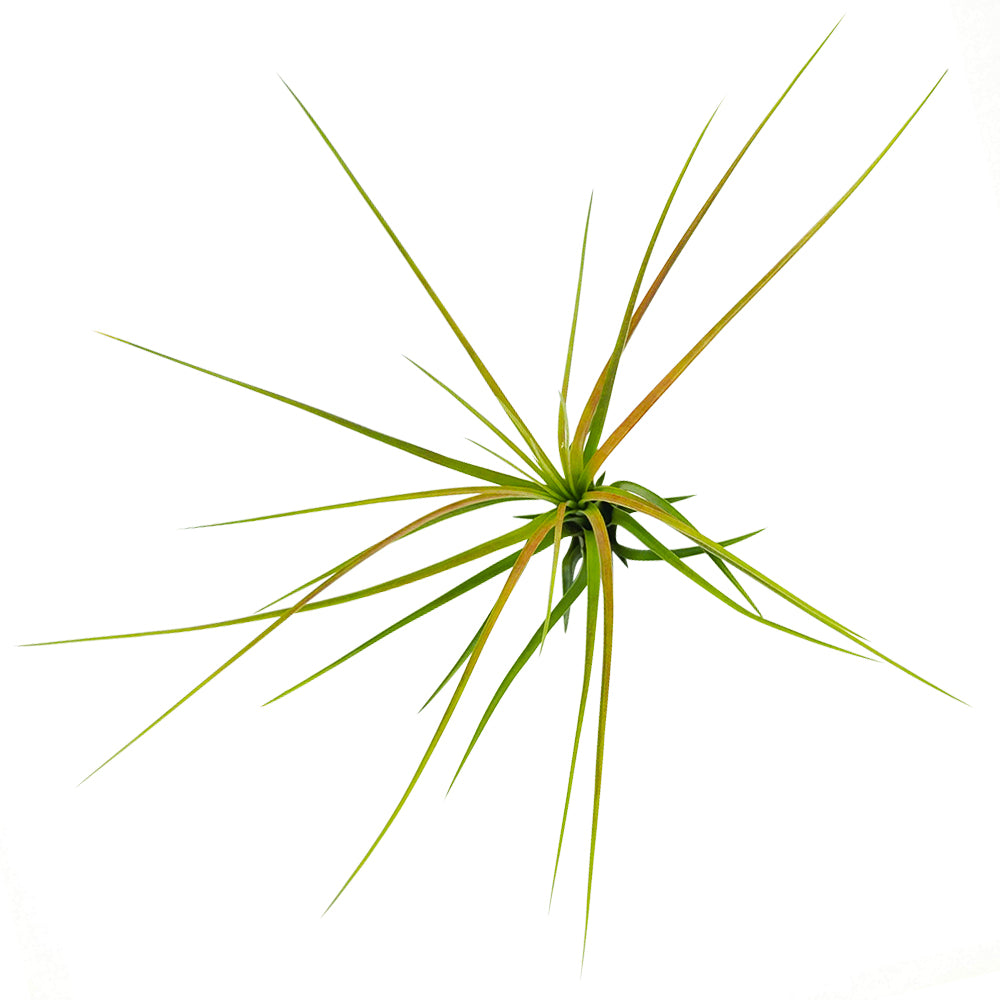 Tricolor Air plant for sale