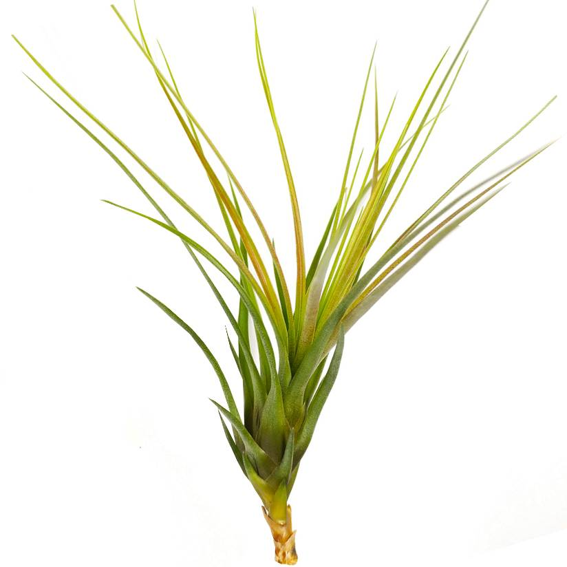 Tillandsia Melanocrater Tricolor air plant for sale, Types of live airplants for sale, Airplant decoration ideas, Airplant gift boxes for sale, Airplant subscription box monthly, How to care for air plants, Tricolor airplant with care guide