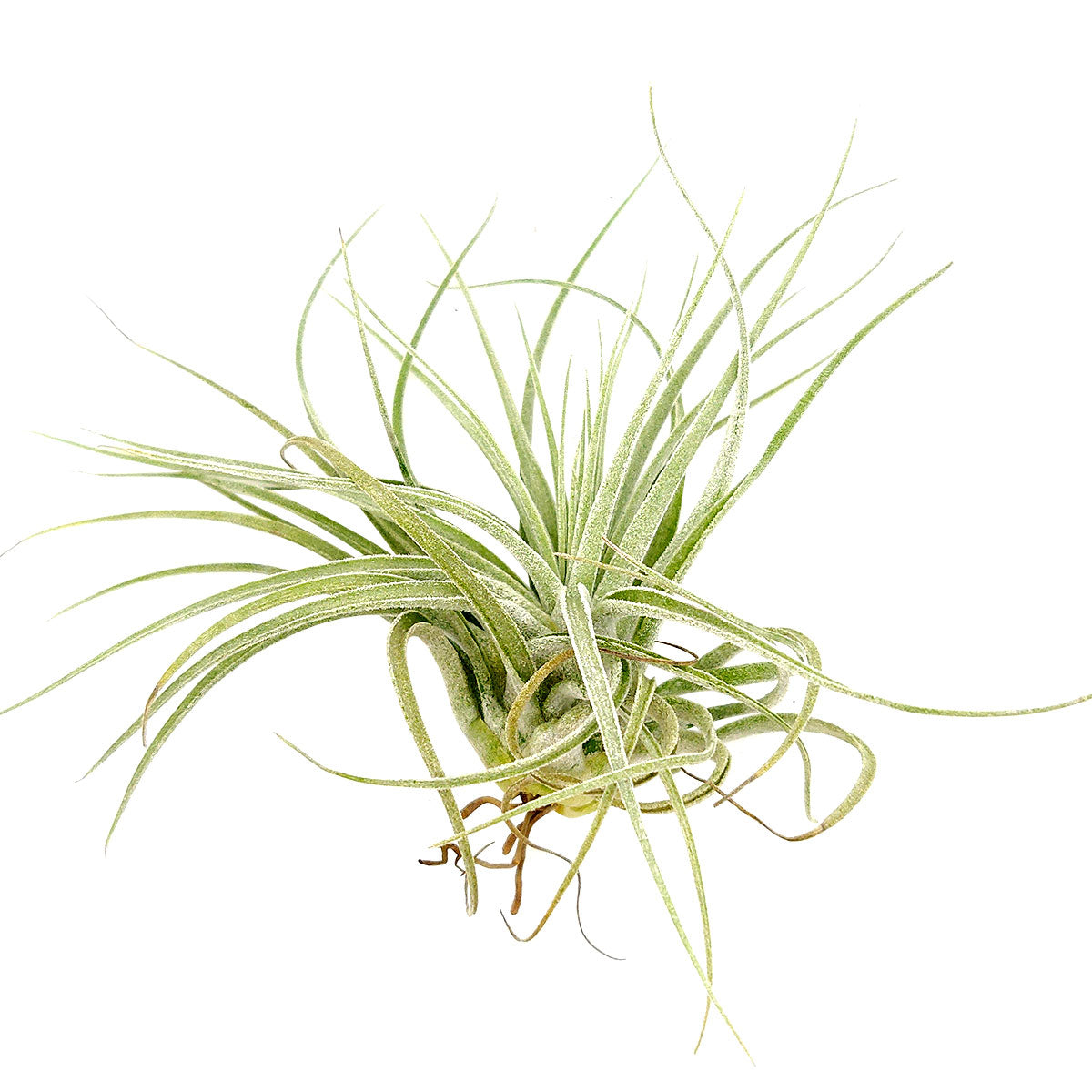 Tillandsia Velickiana air plant for sale, unique gift decor ideas, air plant subscription delivery monthly, Tillandsia Velickiana with air plant care guide