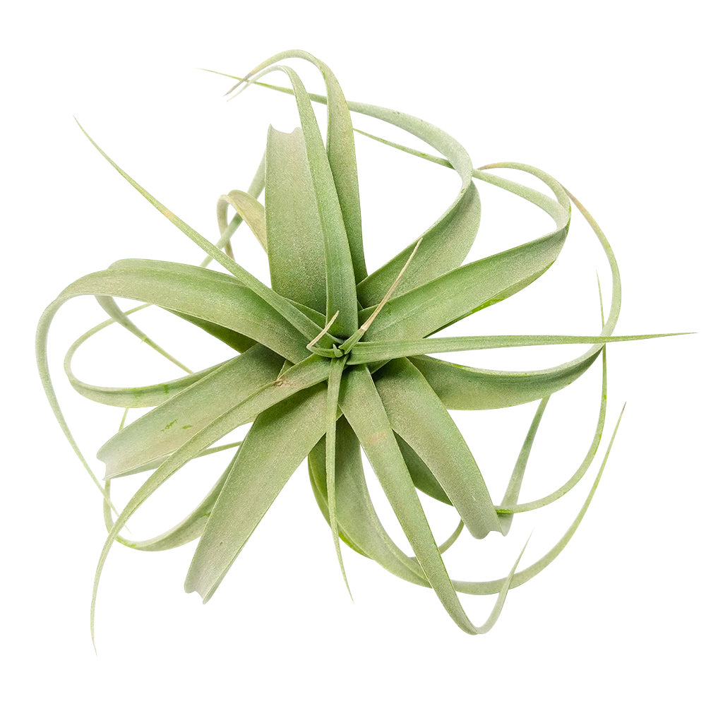 Tillandsia Xerographica air plants for sale, Queen of Air Plants, Xerographica air plants care instructions, rare air plants for sale, How to grow Xerographica indoor, air plants gift ideas