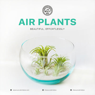Ideas for displaying Air Plants