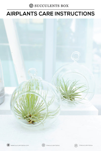 Airplant Care Card for sale, Air Plants Care Guide, How to care for Tillandsia air plants