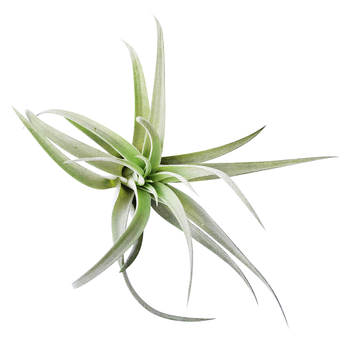 Tillandsia Harrisii Air Plant for Sale