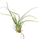 Tillandsia baileyi airplant for sale, Bailey's ball moss for sale, the reflexed airplant for sale, How to care for Baileyi airplant, Airplant home decor, Air plant gift ideas