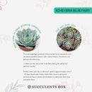 How to care forBlue Fairy Succulent, How to make your succulent pink, How to change succulent color, How to make Blue Fairy Succulent turn pink, Succulent turning pink, How to make succulents change color, How to grow colorful succulents.