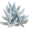 Senecio cocoon plant for sale, succulent care tips, Rare succulents, how to grow succulents, succulents shop in California, succulent plant, indoor succulents, Succulents shop near me, succulents store in CA, Senecio cocoon plant in California, How to grow Senecio cocoon plant