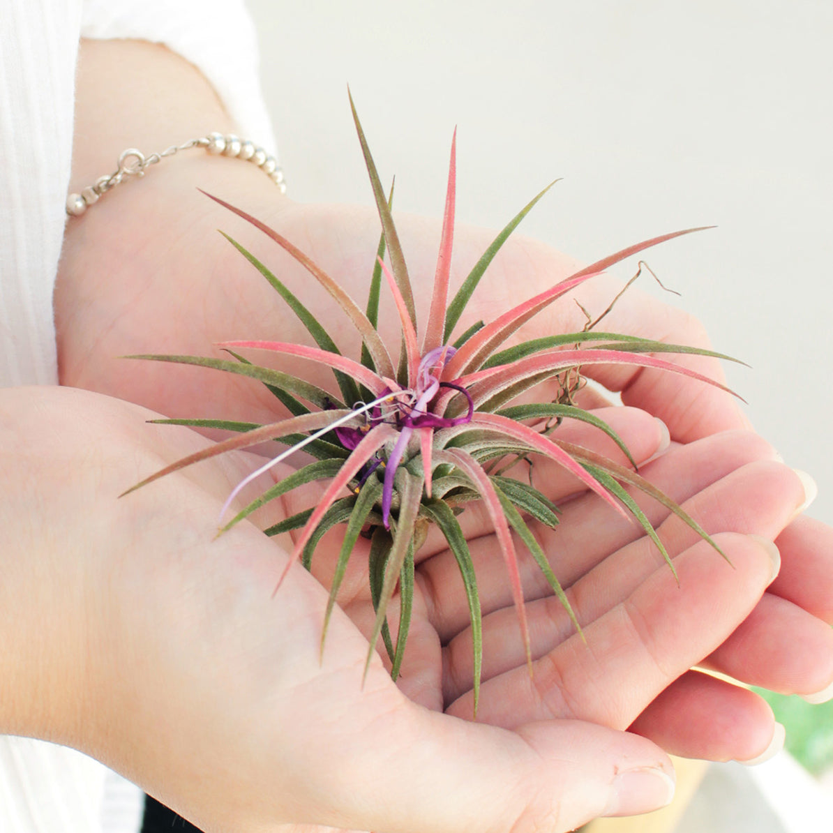Air Plant Gift for sale, Succulents for Sale, Types of Succulents, Succulents Shop in California, Succulents and Cactus Plants, Cactus Box, Subscription Box with Care Instruction, Succulent Subscription Box