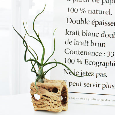 Gift 1 Airplant/ Month