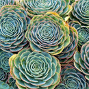 How to care for blue rose echeveria Succulent, How to make your succulent pink, How to change succulent color, How to make Succulent turn pink, Succulent turning pink, How to make succulents change color, How to grow colorful succulents.