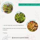 How to care for Sedum Fire Storm Succulent, How to make your succulent pink, How to change succulent color, How to make Sedum Fire Storm turn yellow, Succulent turning pink, How to make succulents change color, How to grow colorful succulents.