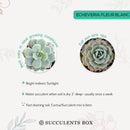 How to care for Echeveria Fleur Blanc Succulent, How to make your succulent pink, How to change succulent color, How to make Echeveria Fleur Blanc turn pink, Succulent turning pink, How to make succulents change color, How to grow colorful succulents.