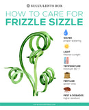 Frizzle Sizzle Plant Care, Rare succulents, cactus, Succulents shop near me, succulents shop in California, succulents garden, succulent care guide, succulents store in CA, how to grow succulents, Frizzle Sizzle Albuca Spiralis in California, How to grow Frizzle Sizzle Albuca Spiralis