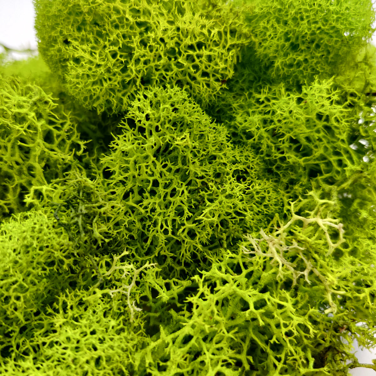 Plus Free Nautical Ebook by Joseph Rains or Any Craft or Floral Project Maroon Moss 4 Ounces Reindeer Moss Preserved Terrariums for Fairy Gardens