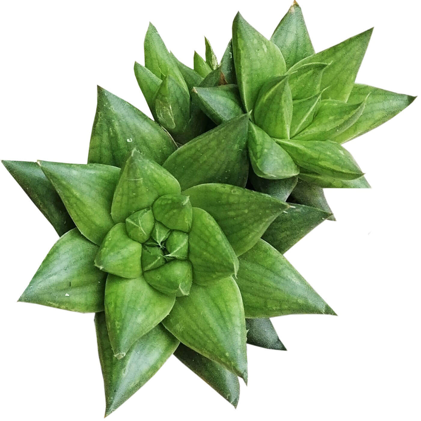 Haworthia batesiana for sale, monthly succulents, succulent subscription, succulent plant, cactus, succulent care, Succulents, succulents garden, Rare succulents, Haworthia batesiana in California, How to grow Haworthia batesiana