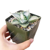 blue agave for sale, succulents shop in California, succulent subscription, succulent plant, succulent care, succulent care guide, succulents garden, Rare succulents, Succulents, blue agave in California, How to grow blue agave