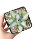 Butterfly Agave care, Succulents shop near me, indoor succulents, succulent care tips, succulent care, Rare succulents, succulents garden, succulent subscription, Succulents, Butterfly Agave in California, How to grow Butterfly Agave