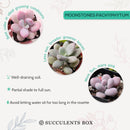 Pachyphytum Moonstones Propagation, succulent care, cactus, succulent care tips, Succulents, succulent subscription, succulents shop in California, monthly succulents, succulent care guide, Pachyphytum Moonstones in California, How to grow Pachyphytum Moonstones