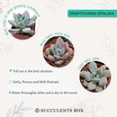 How to care for Graptoveria Opalina Succulent, How to make your succulent purple, How to change succulent color, How to make Graptoveria Opalina turn purple, Succulent turning purple, How to make succulents change color, How to grow colorful succulents