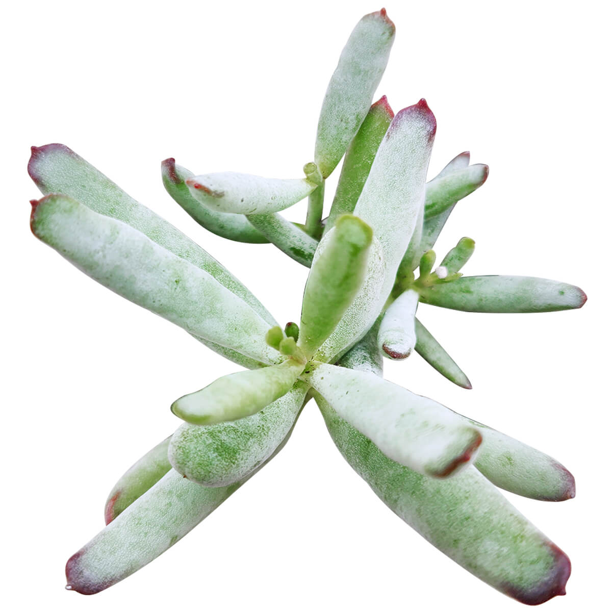 Cotyledon orbiculata var. flanaganii, succulent care tips, indoor succulents, monthly succulents, Succulents, succulent care guide, Succulents shop near me, succulents shop in California, succulent subscription, Cotyledon orbiculata in California, How to grow Cotyledon orbiculata