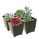 Winter Hardy Succulents Pack for sale, Caring for Succulents in Winter, Hardy Succulents, Cold Tolerant Succulents, Types of Outdoor Succulents for Extreme Cold Weather