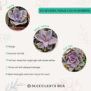 How to care echeveria succulents for thanksgiving, Easter echeveria gift, Succulent garden, succulent gift, Succulents, Succulents shop near me, Rare succulents, succulents garden, succulent care, succulents shop in California, succulent care tips, succulent care guide, Pearl purple echeveria in California, How to grow Pearl purple echeveria