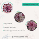 How to care for Sempervivum Red Lion Succulent, How to make your succulent purple, How to change succulent color, How to make Sempervivum Red Liont turn red, Succulent turning red, How to make succulents change color, How to grow colorful succulents