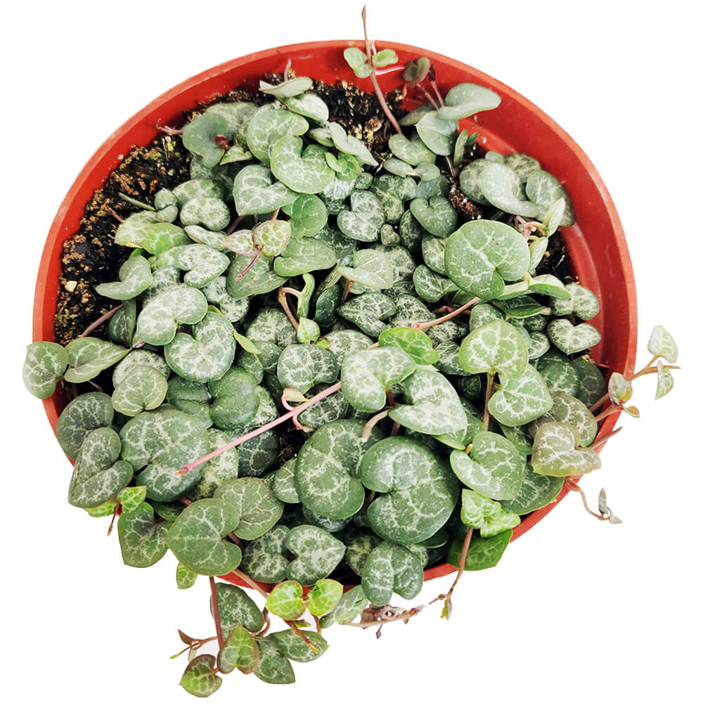, succulent care, succulents shop in California, succulent subscription, cactus, succulent care tips, succulent care guide, indoor succulents, Rare succulents, String of Hearts  in California, How to grow String of Hearts, succulent gifts, succulents for sale, string of hearts plant