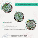 How to care for Echeveria Tippy Pink Succulent, How to make your succulent pink, How to change succulent color, How to make Echeveria Tippy Pink turn pink, Succulent turning pink, How to make succulents change color, How to grow colorful succulents