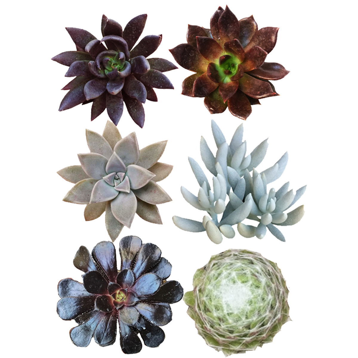 Halloween Spooky Succulent Pack for sale, Spooky Succulent Collection for Haloween Decor, Black Succulents for Haloween Gift, Haloween Succulent Gift Idea