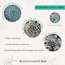succulent gift, succulents garden, cactus, succulent care tips, succulent care guide, succulent plant, Rare succulents, succulent care, Succulents, violet queen rosettes in California, How to grow violet queen rosettes