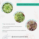 How to care for Window Haworthia Succulent, How to make your succulent pink, How to change succulent color, How to make Window Haworthia turn pink, Succulent turning pink, How to make succulents change color, How to grow colorful succulents