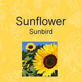 Sunflower grow your own kit. Seeds just add water. Easy to grow garden gift idea. Brisbane Australia