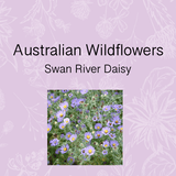 Native Australian Wild flower daisy Paper Daisy seed growing gift kit DIY garden. Brisbane Australia