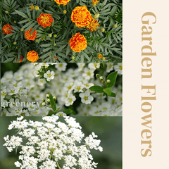 Garden flowers Greenery Lane seeds planting to grow in pots or gardens. Australia alyssum queen annes lace and marigolds