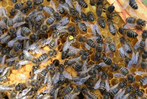 Native (Amm) British Mated Queens - 2020 Season (Blue)