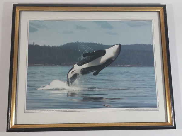 "Graeme Ellis 'Bull killer whale breaches in Johnstone Strait off West Cracroft Island, North of Vancouver Island' Framed Photographic Print 11 3/4"" x 15"""