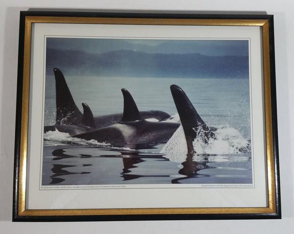 "Graeme Ellis 'Resident pod of killer whales moves through Queen Charlotte Strait off northwest Vancouver Island ' Framed Photographic Print 11 3/4"" x 15"""