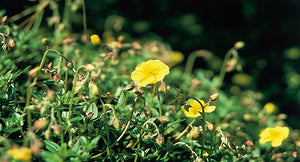 Rock Rose (Terror or Fright)