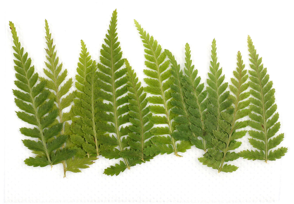 "Pack of 12 Green ""Leaf"" Pressed Dry Leaves"