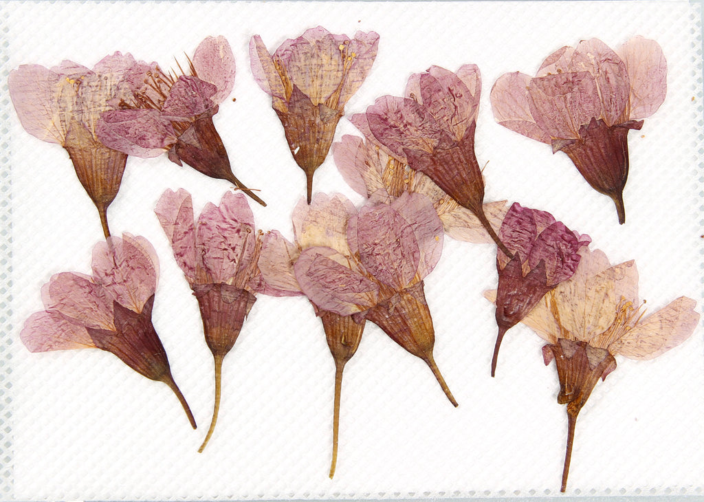 "Pack of 12 ""Cherry Blossom Sakura"" Side Pressed Dry Flower"