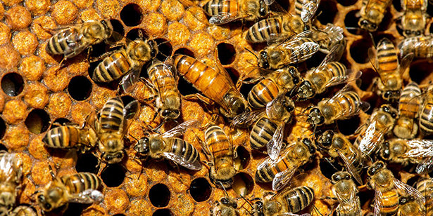 A cluster of honeybees on top of a honeycomb