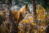 """Red Fox in Wyoming"" Fine Art Photographic Print - Seneca Creek Studios"